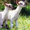 Rzuć wszystko i leć...przytulać kozy!