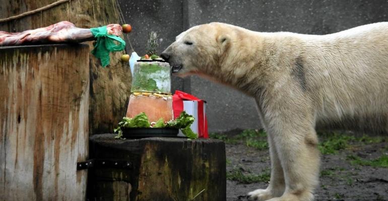 8. urodziny niedźwiedzi polarnych w warszawskim ZOO